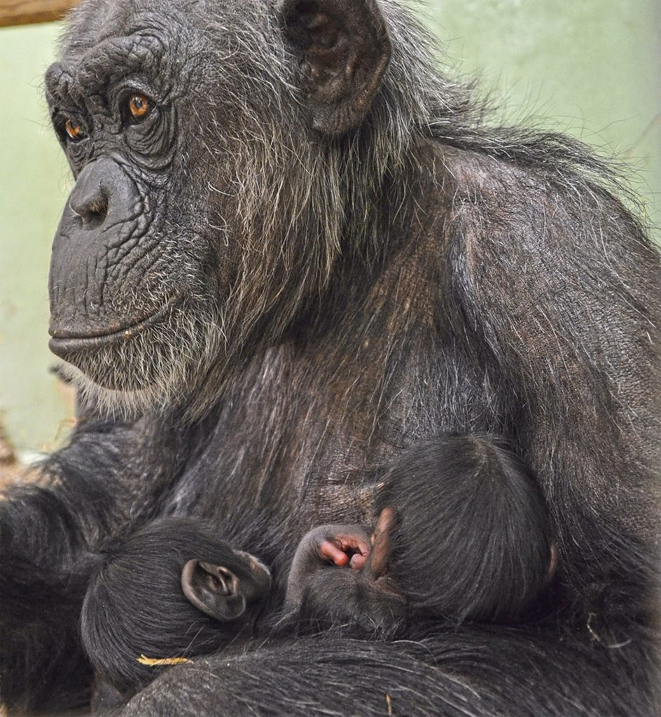 Engandered Baby Chimp Beaten To Death By Adult Female in Zoo